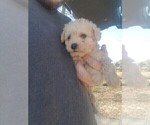 Small #3 Schnoodle (Miniature)