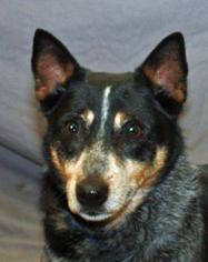 Dako - Australian Cattle Dog/Blue Heeler Dog For Adoption
