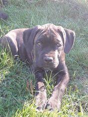 Cane Corso Puppy For Sale in CAMANO ISLAND, WA