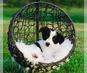 Border Collie Puppy for sale in STRAFFORD, MO, USA