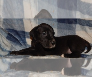 Great Dane Puppy for Sale in SPRAGGS, Pennsylvania USA