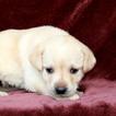 Labrador Retriever Puppy For Sale in GAP, PA, USA