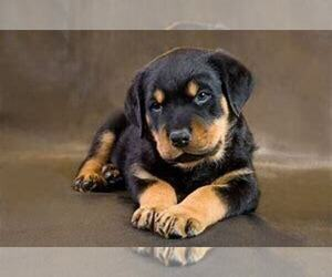 Rottweiler Puppy for sale in FORT WAYNE, IN, USA