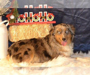 Mother of the Miniature American Shepherd puppies born on 12/16/2020