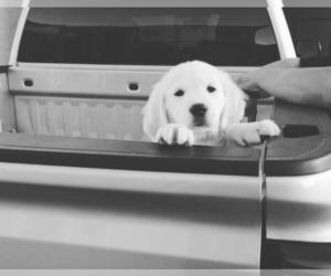 English Cream Golden Retriever Puppy for Sale in CHANDLER HEIGHTS, Arizona USA