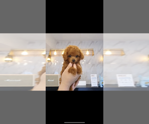 Poodle (Toy) Puppy for sale in CHINO HILLS, CA, USA