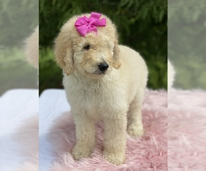 Goldendoodle-Poodle (Standard) Mix Puppy for Sale in KISSIMMEE, Florida USA