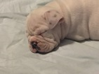English Bulldogge Puppy For Sale in KERSEY, CO, USA