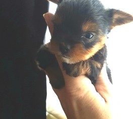 Yorkshire Terrier Puppy For Sale in HARRIMAN, TN