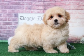 Abby Gorgeous Little Female LhasaPoo Puppy