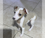 Small #10 Italian Greyhound