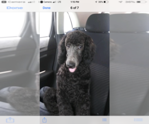 Poodle (Standard) Puppy for Sale in FORT LAUDERDALE, Florida USA