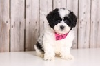 Lhasa-Poo Puppy For Sale in MOUNT VERNON, OH