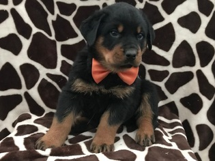 Rottweiler Puppy for sale in CHRISTIANA, PA, USA