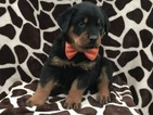 Boots the Rottweiler