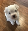 Maltese Puppy For Sale in VIRGINIA BEACH, VA, USA