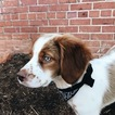 Brittany Puppy For Sale in GREENVILLE, SC, USA