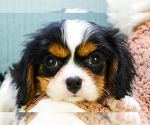 Cavalier King Charles Spaniel Puppy for sale in ANN ARBOR, MI, USA