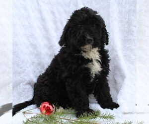 Miniature Bernedoodle Puppy for sale in EPHRATA, PA, USA