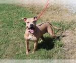 Small #55 American Pit Bull Terrier-American Staffordshire Terrier Mix