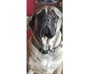 Father of the Mastiff puppies born on 03/23/2019
