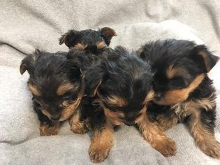 Yorkshire Terrier Puppy For Sale in PR DU CHIEN, WI, USA