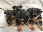 Yorkshire Terrier Puppy For Sale in PR DU CHIEN, WI, USA