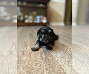 Schnauzer (Miniature) Puppy for sale in JEFFERSON, GA, USA
