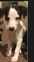 Whippet Puppy for sale in BURTONSVILLE, MD, USA