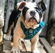 AKC English Bulldog