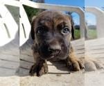 Small #3 German Shepherd Dog-Mastiff Mix