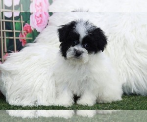Shorkie Tzu Puppy for sale in MARIETTA, GA, USA