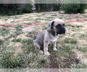 Cane Corso-Mastiff Mix Puppy for sale in MODESTO, CA, USA