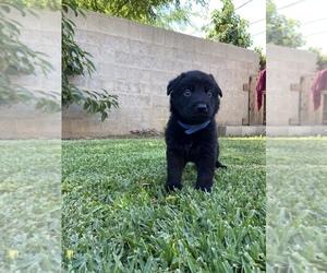 German Shepherd Dog Puppy for Sale in GLENDALE, California USA