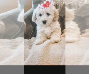 Poochon Puppy for Sale in PRINCETON, Kentucky USA