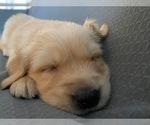 Small #8 Golden Retriever