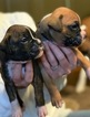 Boxer Puppy For Sale in GRAYSON, GA, USA