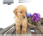 Small #7 Golden Retriever