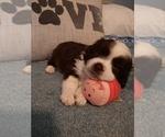 Small #2 Aussiedoodle-Miniature Australian Shepherd Mix