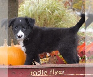 Collie Puppy for sale in PAXINOS, PA, USA