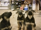 German Shepherd Dog Puppy For Sale in YORKVILLE, IL, USA