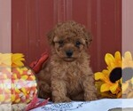 Small #4 Poodle (Miniature)