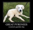 Great Pyrenees Puppy For Sale in LIVINGSTON, TX, USA