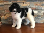 Poodle (Standard) Puppy For Sale in WILLIAMSTOWN, KY, USA
