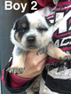Australian Cattle Dog Puppy For Sale in MORA, MN, USA