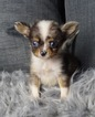 Chihuahua Puppy For Sale in WARSAW, IN, USA