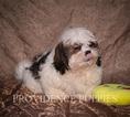 Shih Tzu Puppy For Sale in WAYLAND, IA, USA