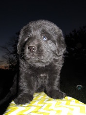 Newfoundland Puppy For Sale in MILLERSBURG, OH
