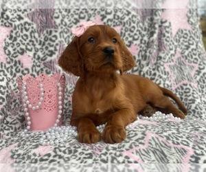 Irish Setter Dog for Adoption in CEDAR LANE, Pennsylvania USA