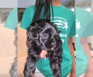 Yorkie-Poo Puppy for sale in MC DONOUGH, GA, USA